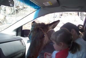 Un cerf mangeant une carotte dans la voiture